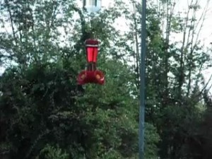 Hummingbird Dive Bomb